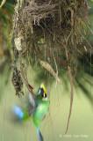 Broadbill, Long-tailed @ Telecom Loop