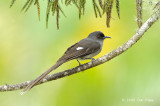 Sibia, Long-tailed