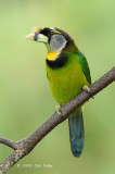 Barbet, Fire-Tufted