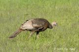 Turkey, Wild (female) @ Shenendoah National Park