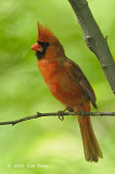 Cardinal, Northern (male) @ Central Park, NY