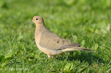 Dove, Mourning