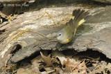 Redstart, American (female) @ Central Park, NY
