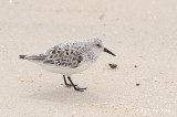 Sanderling @ Chesapeake Bay