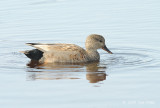 Gadwall @ Cape May, NJ