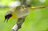 Yellowthroat, Common (male) @ Central Park, NY