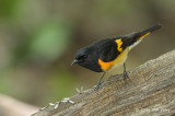 Redstart, American (male) @ Central Park, NY