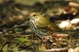 Ovenbird @ Central Park, NY