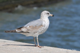 Gull, Herring @ Ellis Island, NY
