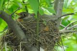 Robin, American @ Central Park, NY