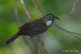 Babbler, Chestnut-rumped (adult)