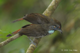 Babbler, Chestnut-rumped (adult & imm)