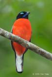 Trogon, Scarlet-rumped (male)