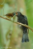 Cuckoo, Asian Drongo (immature)