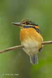 Kingfisher, Rufous-collared (juv female)
