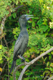 Cormorant, Little Black