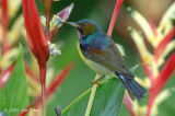 Sunbird, Brown-throated (male) @ Botanic Gardens