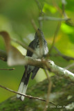 Fantail, Spotted