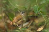 Babbler, Short-tailed