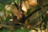 Babbler, Short-tailed (chick)