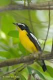 Flycatcher, Yellow-rumped (male) @ Jurong Lake