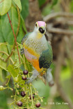 Fruit-Dove, Rose-crowned @ Casuarina Coastal Reserve