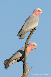 Galah (male & fem) @ Copperfield Dam
