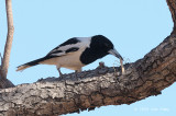Butcherbird, Pied @ Copperfield Dam