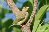 Finch, Gouldian @ Chinaman Creek