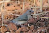 Finch, Gouldian (juvenile) @ Chinaman Creek