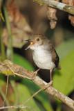 Babbler, White-chested