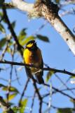 Berrypecker, Tit @ Pigetes Trail