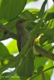 Sunbird, Plain (imm. female)