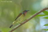 Sunbird, Red-throated (male)