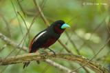 Broadbill, Black-and-Red