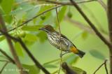 Flowerpecker, Yellow-vented