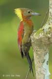 Woodpecker, Checker-throated (female)