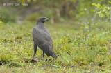 Eagle, Changeable Hawk