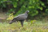 Eagle, Changeable Hawk (dark morph)