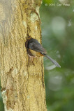 Shama, White-rumped (female feeding nest)