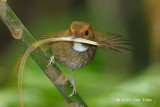 Flycatcher, Rufous-browed