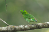Broadbill, Green (female)