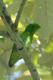 Broadbill, Green (juvenile)