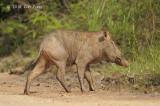 Pig, Eurasian Wild (sow)