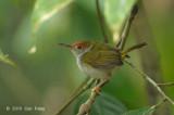 Tailorbird, Dark-necked (female)