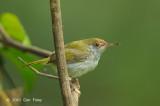 Tailorbird, Dark-necked (immature)