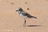 Plover, Lesser Sand @ Pontian
