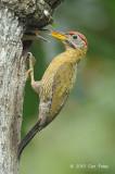 Woodpecker, Laced (male) @ Kent Ridge