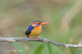 Kingfisher, African Pygmy
