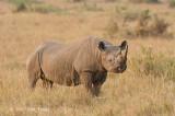 Rhinoceros, Black (male)